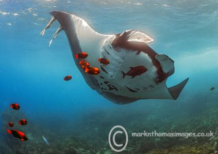 Giant Manta & Clarion Angelfish