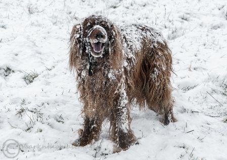 Snow dog - Roonagh